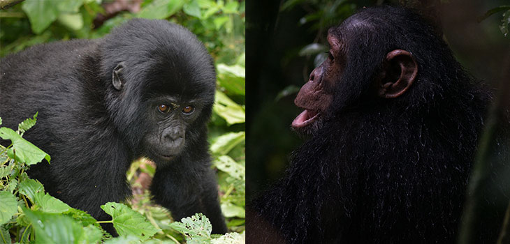 4 Days Uganda Gorilla And Chimpanzee Trekking Tour