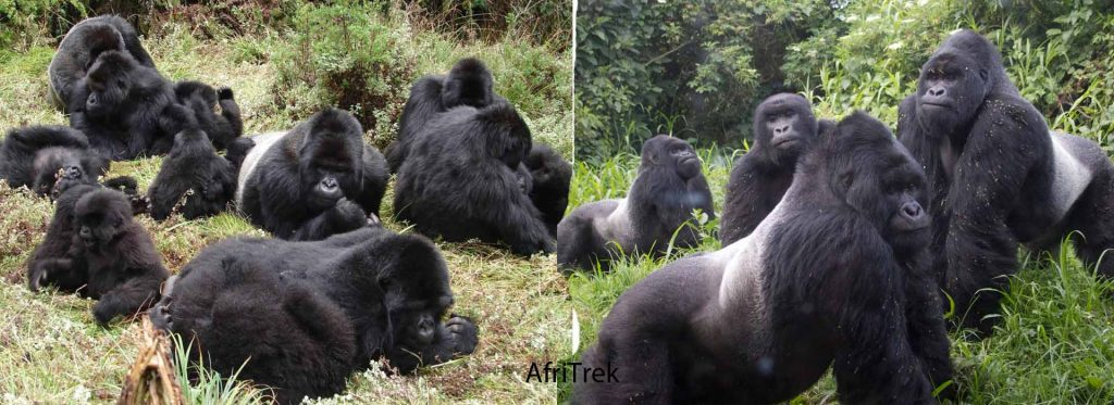 Mountain Gorilla Groups in Uganda
