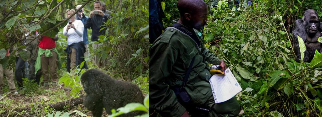 Difference Between Gorilla Tracking and Gorilla Trekking