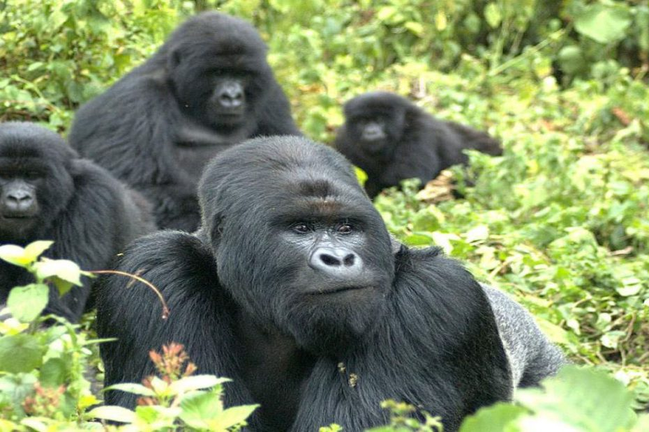 How Many Mountain Gorillas are Left in the world